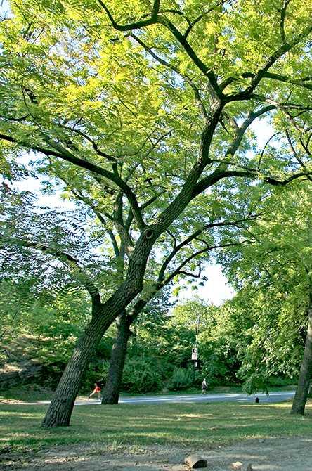 Schwarzwalnuss-Baum vom Boden aus gesehen, hellgrünes Blätterwerk über dunkelbraunen Ästen
