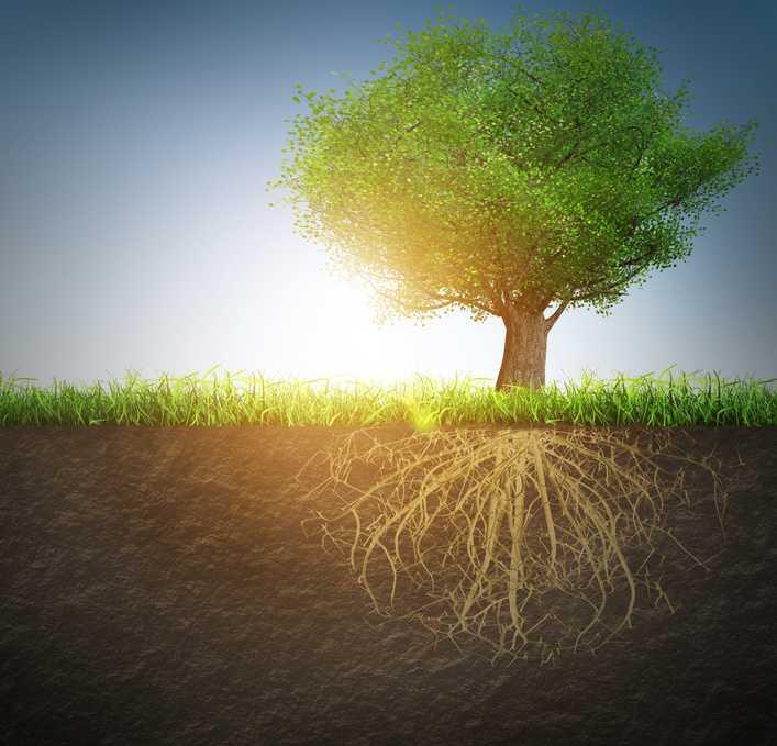 Zu sehen ist ein Baum von der Seite und sein grosses Wurzelwerk bis tief in die Erde