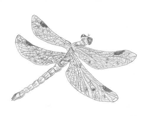 Bleistift-Zeichnung einer Libelle