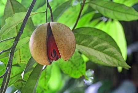 Eine rötliche Muskatnuss mit halb geoeffnete Schale, die an einem g rossen gruenen Baum haengt