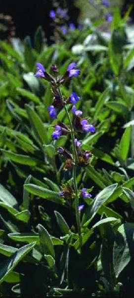 Vorschau: Pflanze, Kraut für Leber-Kräutertinktur nach Clark