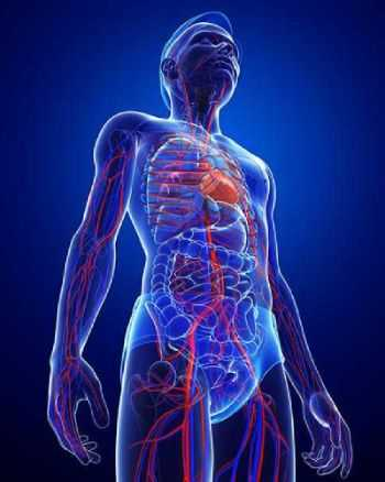 Blaue Computergrafik eines durchsichtigen Menschen - man sieht die Arterien und Venen durchscheinen